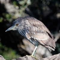 Night-Heron Juveniles