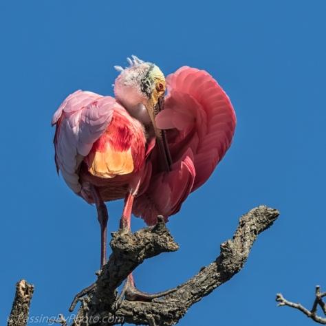 Roseate Spoonbill Grooming
