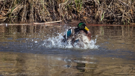 Male Mallard Bathing