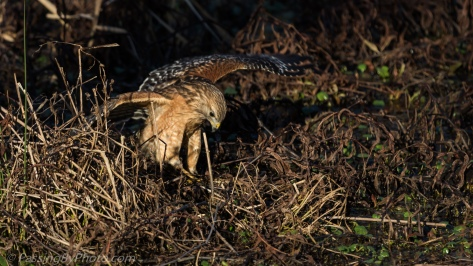 Red-shouldered Hawk Eating Frog
