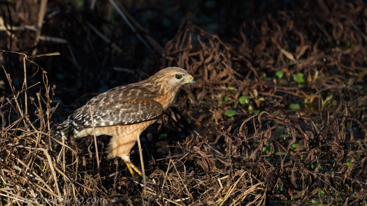 Red-shouldered Hawk Lunching, Part 1