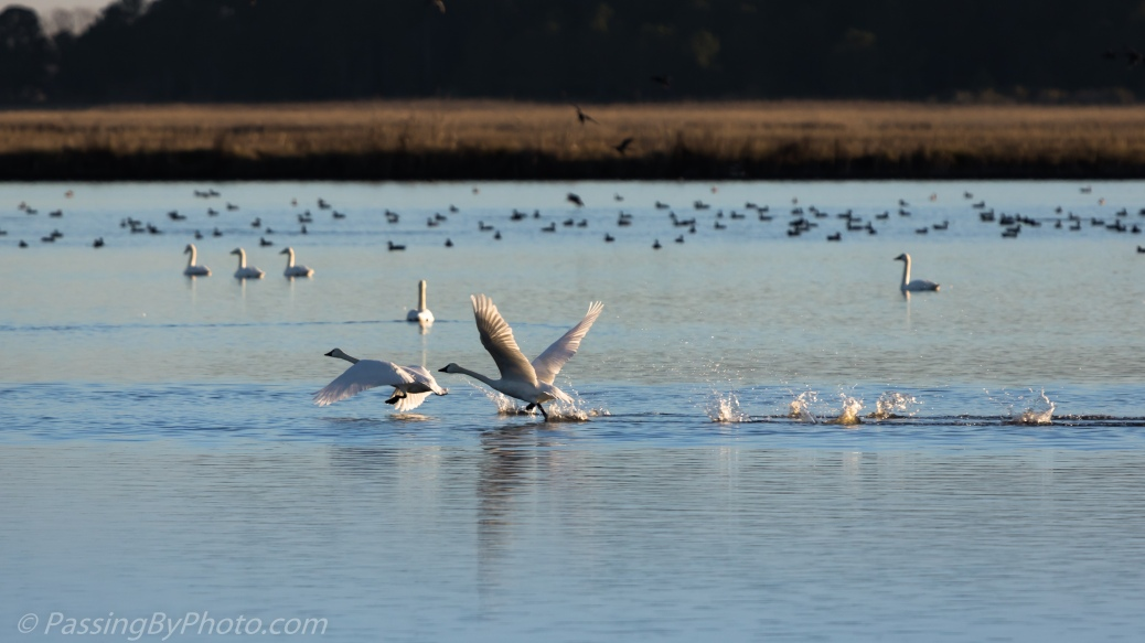Tundra Swans Taking Off