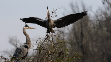 Great Blue Herons Stick Exchange