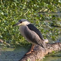 Night Heron Hang Out
