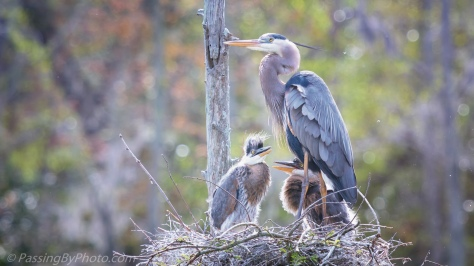 Great Blue Heron with Two Chicks