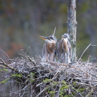 Great Blue Heron Family in the Skinny Tree