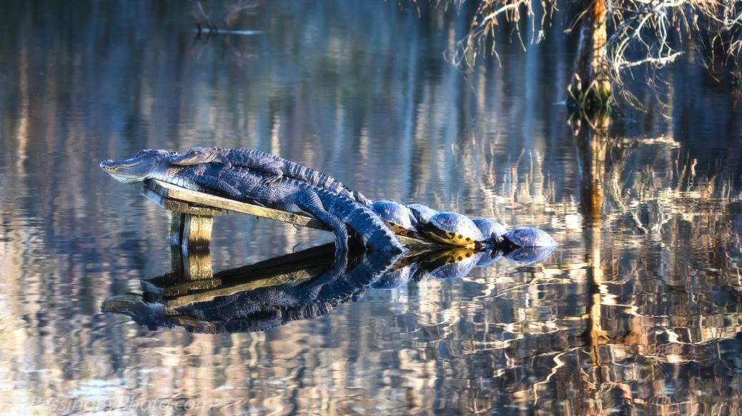 Alligators, Turtles hanging out