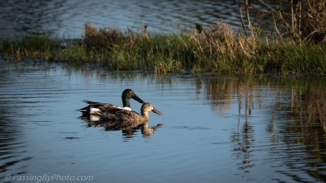 Northern Shoveler Pair