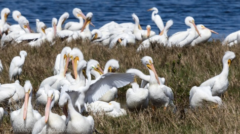 White Pelicans and Wading Birds