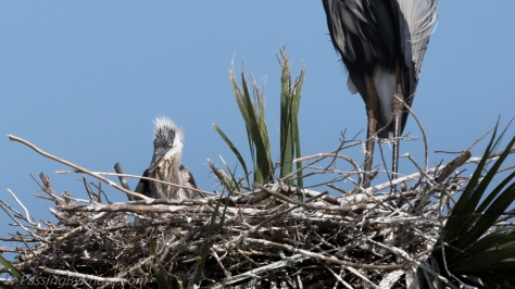 Great Blue Heron Chick
