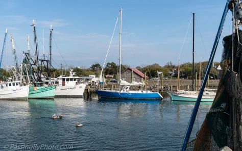 Pelicans in Shem Creek