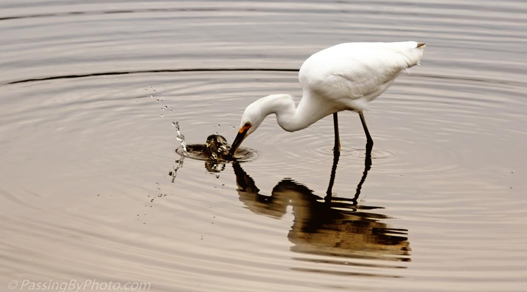 Great Egret Making a Splash