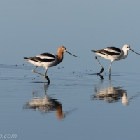 American Avocets Don't Want to Be Lunch