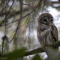 Barred Owl Pair Getting Lunch