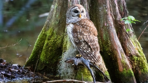 Barred Owl with Frog Lunch