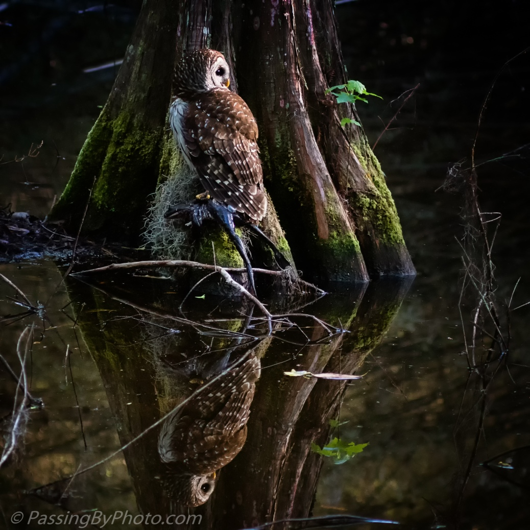 Barred Owl with Frog and Reflection