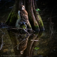 Barred Owl With Reflection