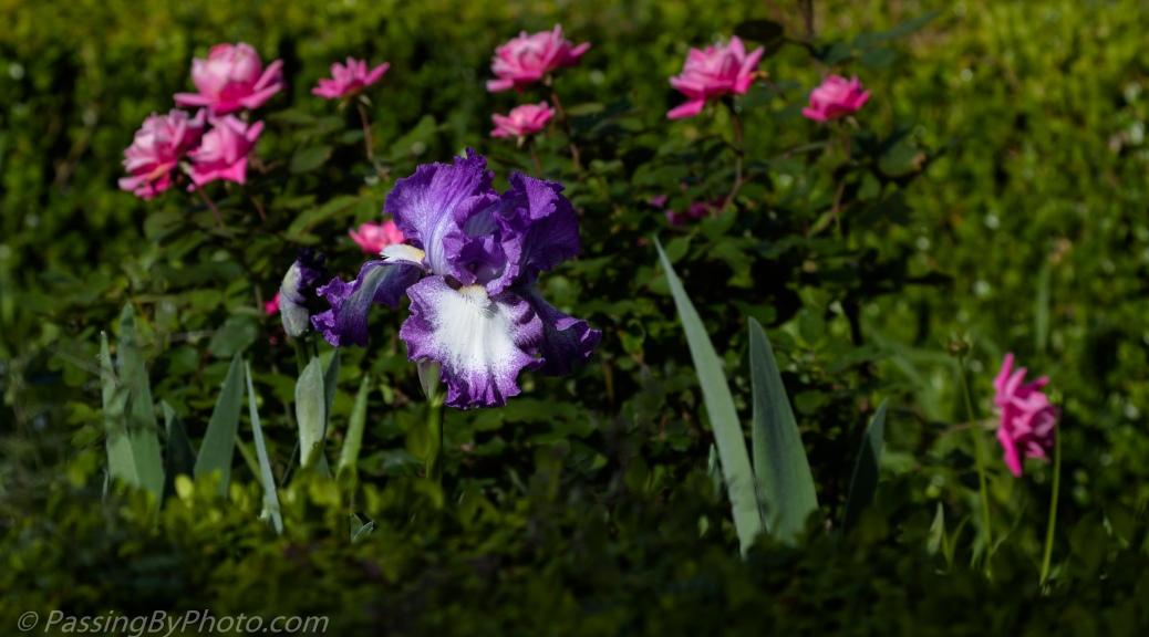 Iris and Roses