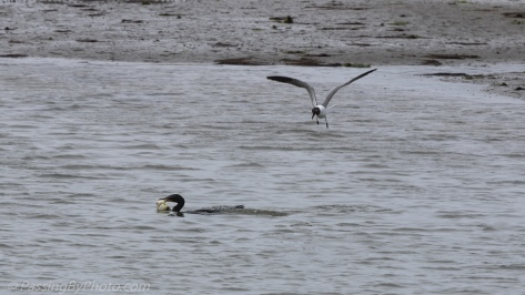 Cormorant Dive-bombed by Laughing Gull