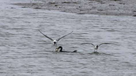 Cormorant Dive-bombed by Laughing Gulls
