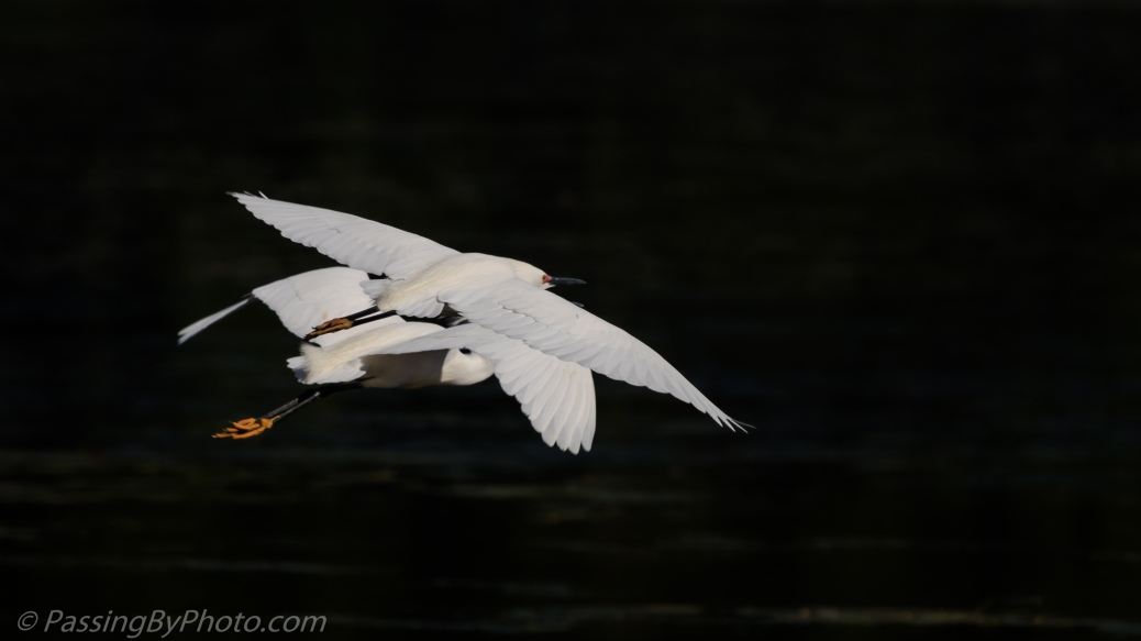 Snowy Egrets Pair Flying