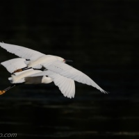 Snowy Egrets Synchronized Flying