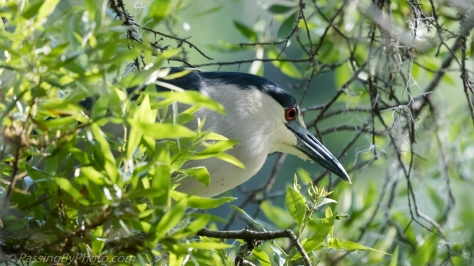 Black-crowned Night-Heronlack-crowned Night-Heron