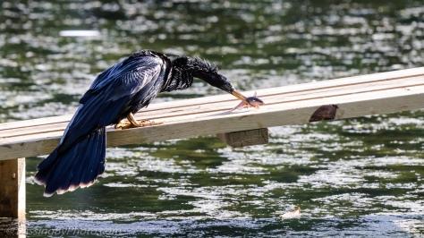 Anhinga Wacking Fish