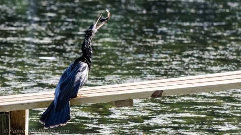 Anhinga Tossing Fish