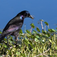 Grackle with a Snack