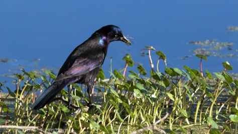 Grackle with Dragonfly