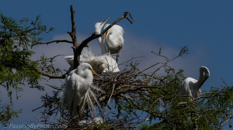 Great Egret Returns to Nest