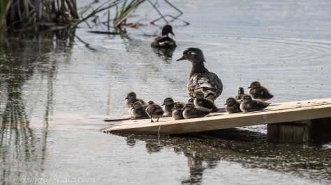 Female Wood Duck with Chicks
