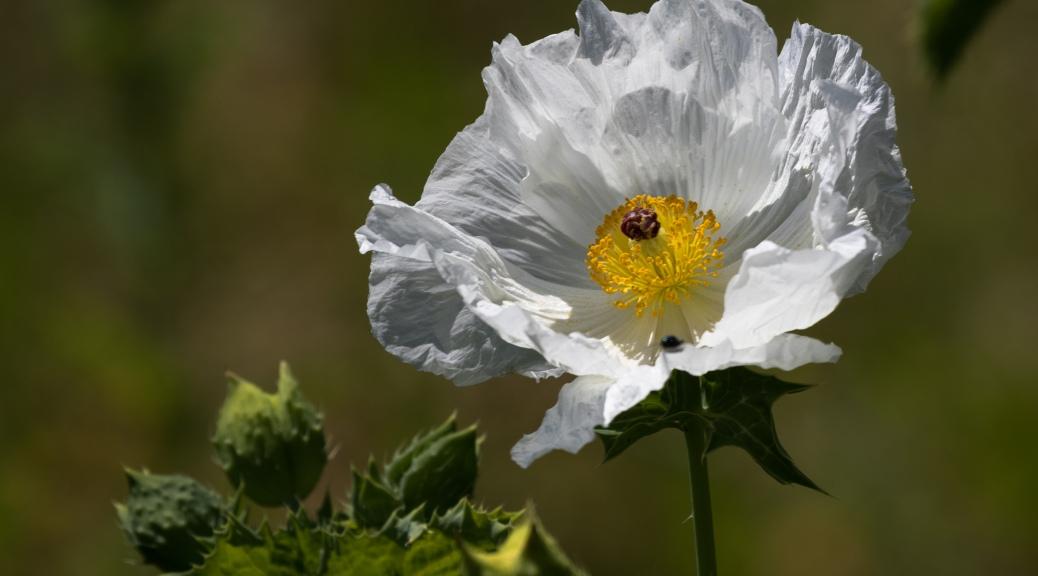 Prickly Poppy