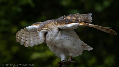 Barn Owl Stretching His Wings