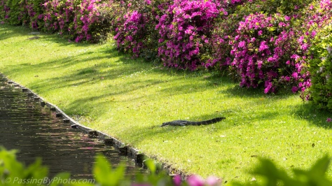 Alligator Basking with Azaleas