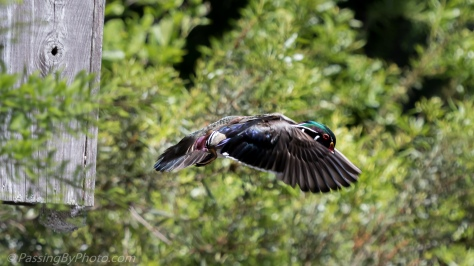 Wood Duck Diving