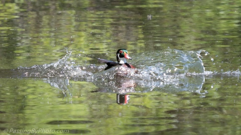 Wood Duck Splash Down