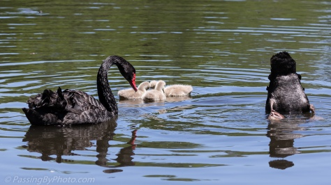 Black Swan and Cygnets