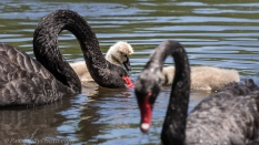 Black Swans and Cygnets