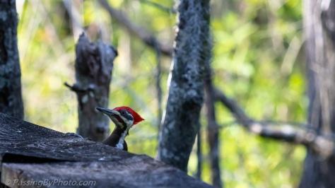 Pileated Woodpecker on Boardwalk Railing