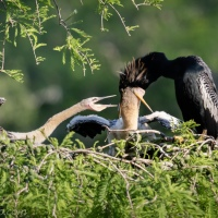 Anhinga Feeding Chicks (2)