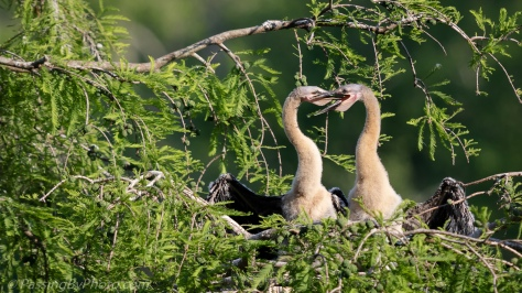 Anhinga Chicks Feeding