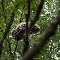 Barred Owl Owlet