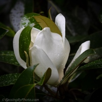 Magnolia Blossom After The Rain