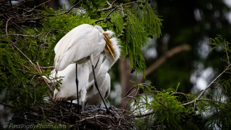 Great Egret with Three Chicks