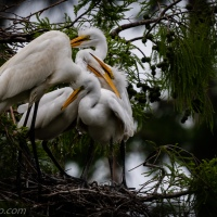 Three Hungry Egrets