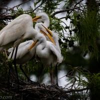 Three Hungry Egrets