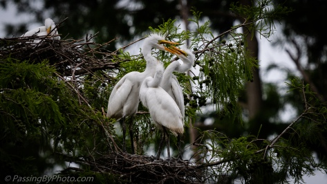Three Great Egret Chicks
