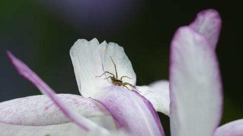 Spider on Iris